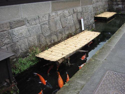水路を泳ぐ錦鯉